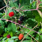 Notes from Three of Earth Farm: Beating the Bear to the Berries