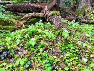 Blankets of bunchberry