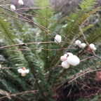 Notes from Three of Earth Farm: Snowberry Christmas